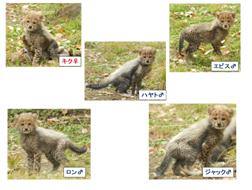 陸地を走る動物で中で最速!チーターの五つ子に会える@東京都日野市多摩動物園