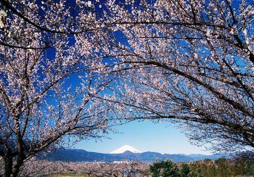 富士の景色と35,000本の梅の香り『第50回小田原梅まつり』流鏑馬や郷土芸能などイベント多数!