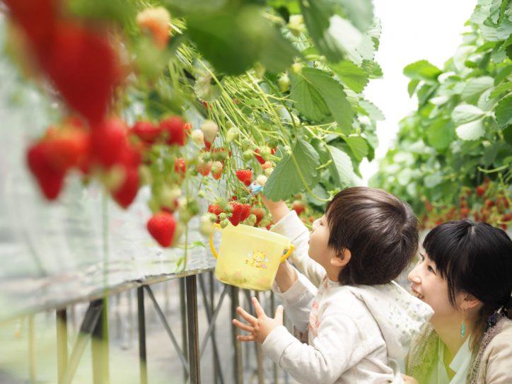 【参加者プレゼントあり】平塚・すぎやまいちご園で旬のいちご狩りと交流会