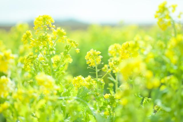 吾妻山菜の花~里山散策と雛の吊るし飾り見学ツアー