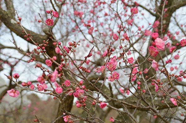 小田原フラワーガーデンで『渓流の梅園 梅まつり』約200品種480本の梅が咲き誇る!