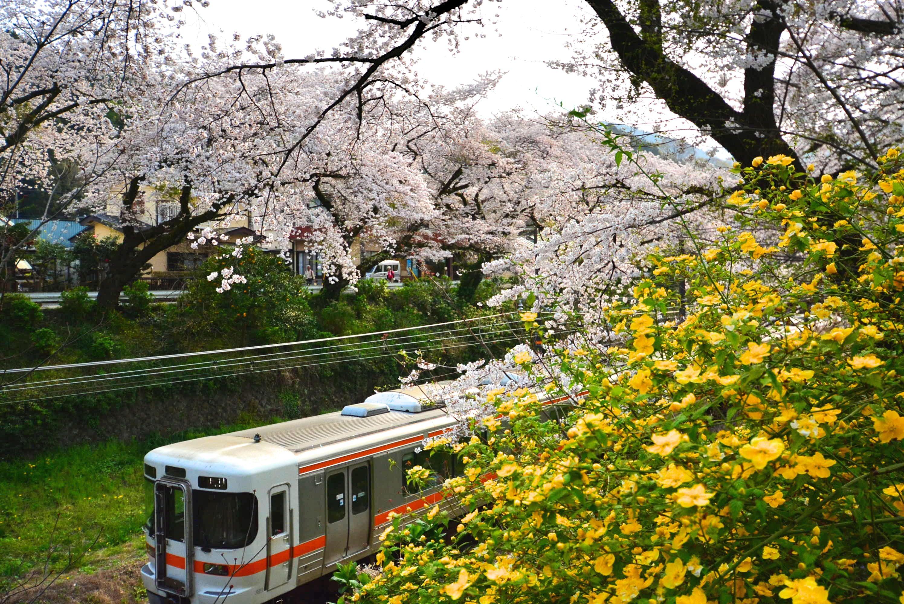 【NEW 4月19日】トンネルで育った「丹沢うど」 道の駅山北でデビュー!