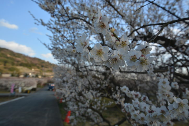 【神奈川・東京多摩 観梅スポット2019】梅の名所・梅まつり・開花情報集めました