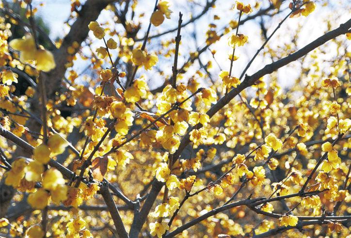 町田・忠生公園でロウバイ開花中~2月初旬頃まで
