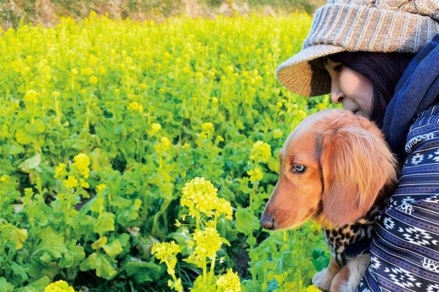茅ヶ崎里山公園で菜の花とニホンズイセン見頃に