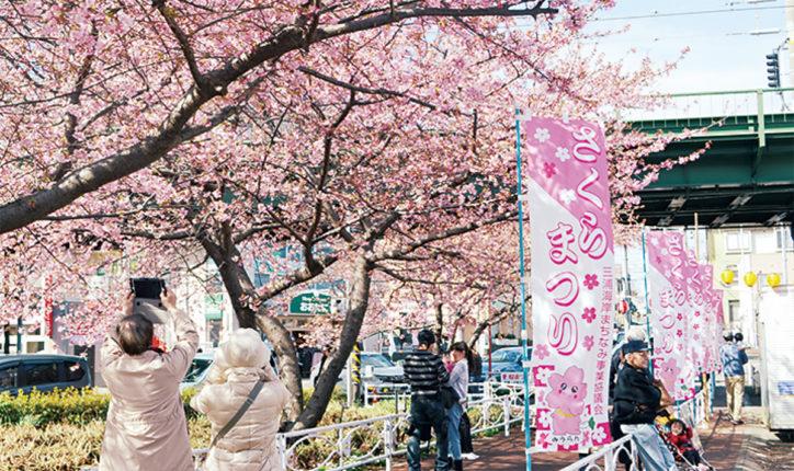 「第17回三浦海岸桜まつり」河津桜約1000本で春先取り!三浦の特産品販売も