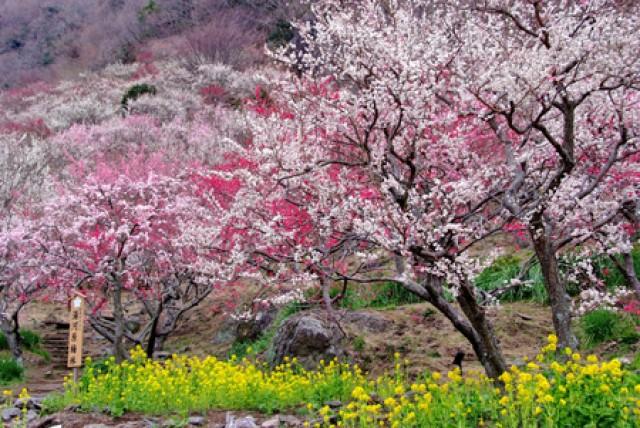 約4000本が咲き誇る「湯河原梅林(幕山公園)梅の宴」【2019年2月2日~3月10日】