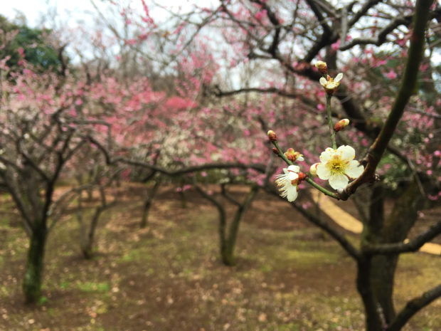 生田緑地の梅園で、ひっそり静かに咲く梅【川崎市多摩区】