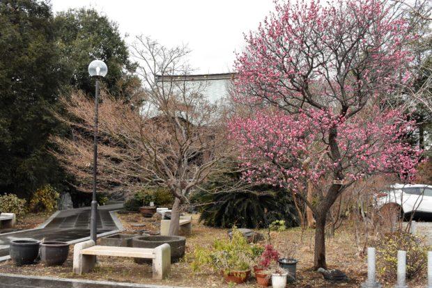 高願寺で紅梅、花開く【川崎市中原区】