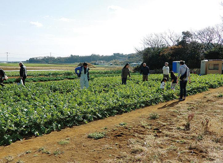 河津桜見物と旬の野菜の収穫体験【三浦市】