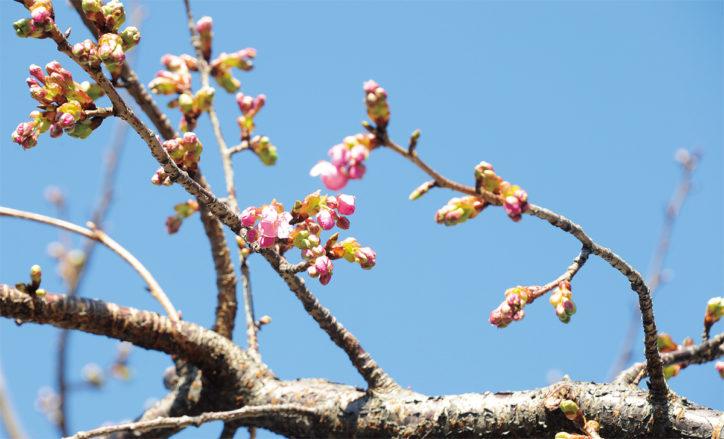 春を告げる河津桜が開花@相模が丘仲よし小道さくら百華の道