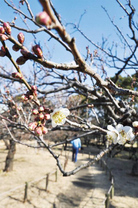 17種類140本の梅、これから満開シーズンに~3月中旬まで@平塚市総合公園