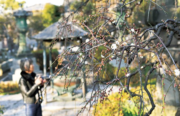 枝垂れ梅の名所!紅白の梅が楽しめる藤沢・常立寺