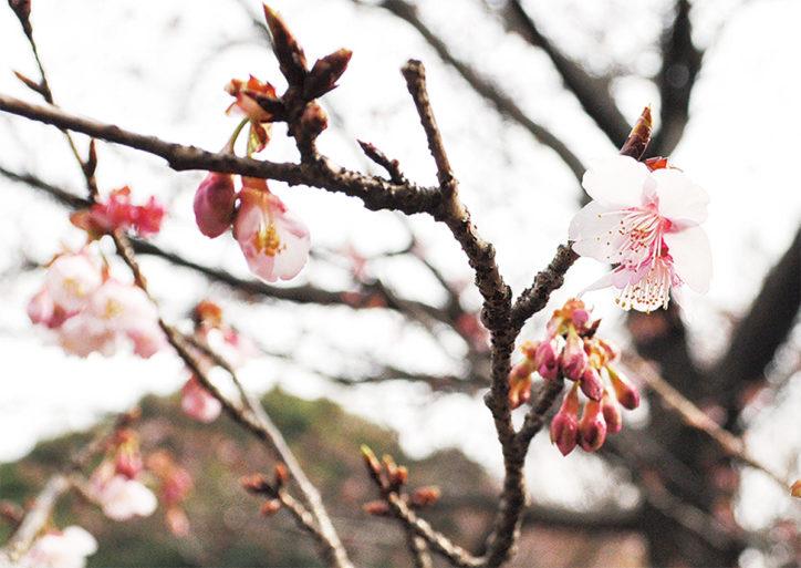 相模原公園で早咲きの桜が開花【満開は2月末頃】