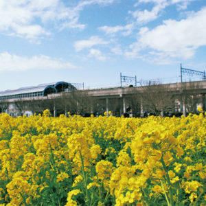 横浜・都筑区の春の風物詩「菜の花畑」が見頃に