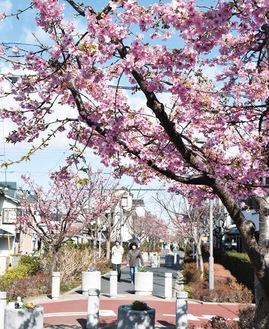 春を告げる~河津桜から開花リレースタート@相模が丘仲よし小道さくら百華の道