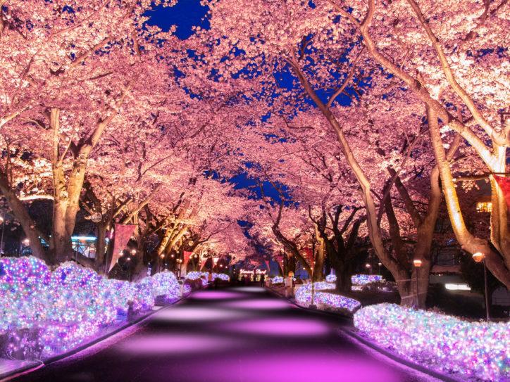 【読プレ付き】よみうりランド『夜桜ジュエルミネーション』桜並木をライトアップ