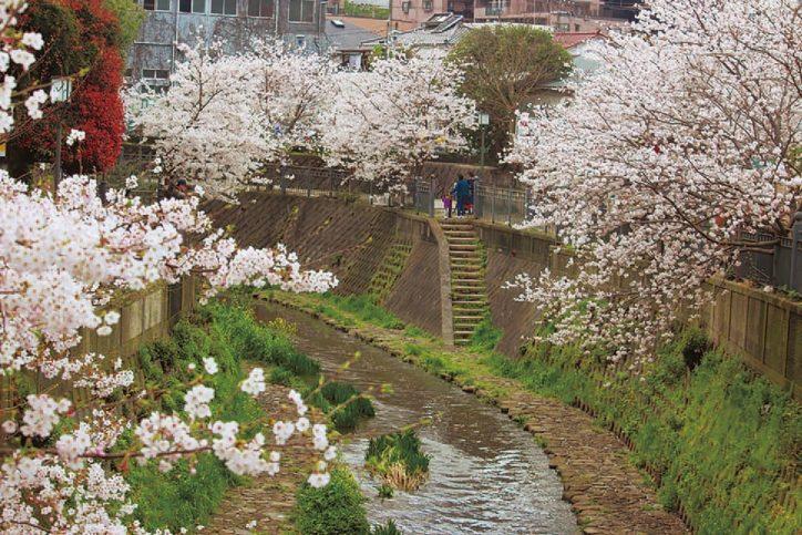 大岡川の桜《港南区・栄区 桜ガイド2020》