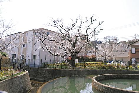 「高津桜めぐり」区内桜の隠れた名所を紹介【川崎市】