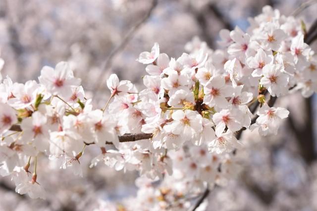 「厚木南さくらまつり」願いが叶う桜の木を完成させよう!