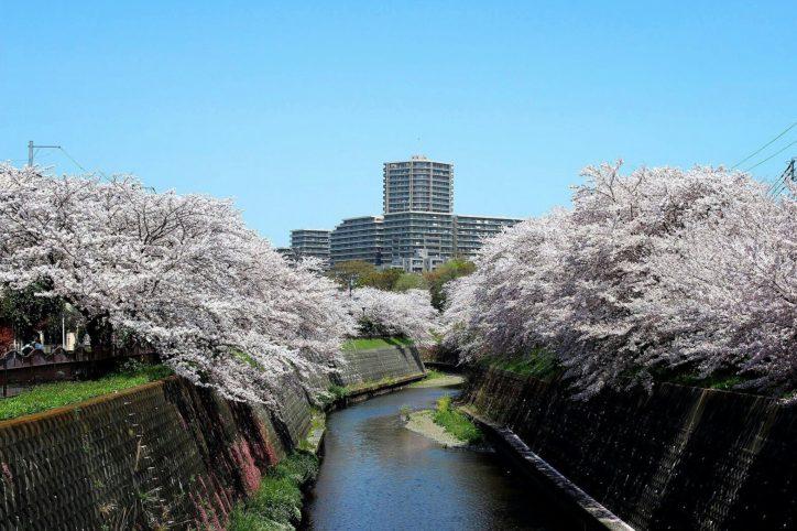 藤沢でダイナミックな桜並木~円行の引地川沿い~