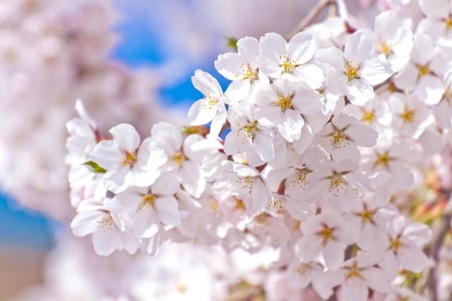 俣野別邸庭園「さくら祭り」【3月23日・24日】