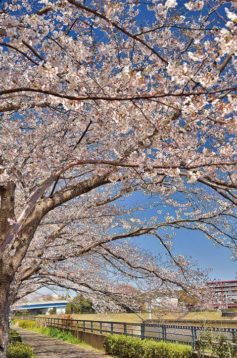 柏尾川の桜並木《港南区・栄区 桜ガイド2020》