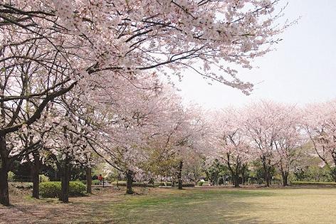 藤沢のお花見スポット「大庭城址公園」。遊具もあるので子連れにおすすめ