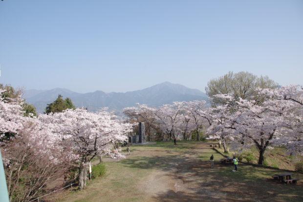 はだの桜まつり2019