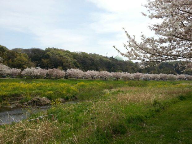 藤沢で桜と言えばココ!「桜のトンネル」引地川親水公園
