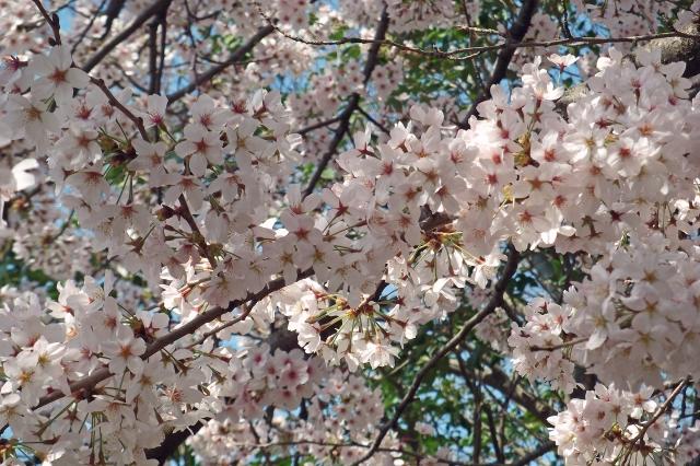 桜の二ヶ領用水散策と日経東京製作センター見学【先着30人】