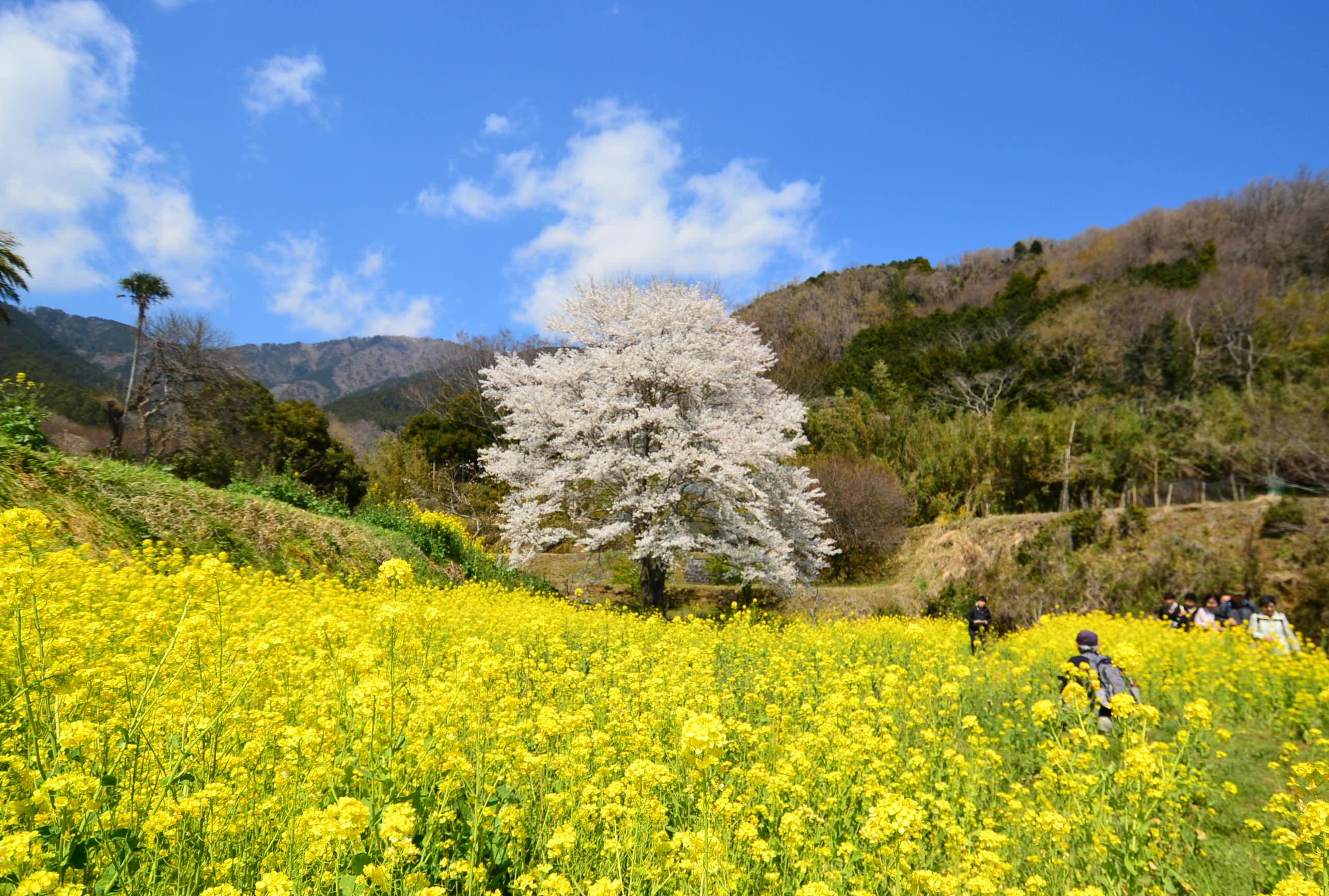 秦野(はだの)の桜を見に行こう - 神奈川の桜穴場スポット 秦野さくら2019