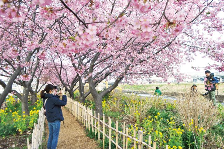 「第13回小出川桜まつり」約70本の河津桜見頃に