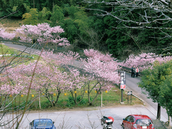 秦野・中丸沢の川沿いに植えられた約70本の「春めき桜」見頃に