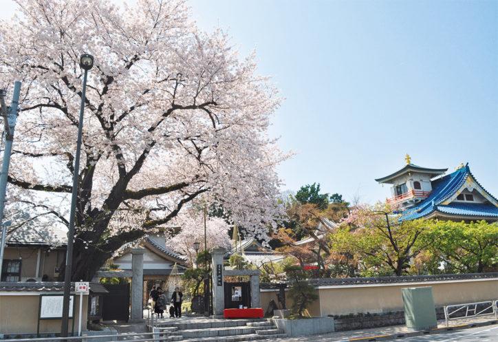 【八王子市・桜スポット】松姫ゆかりの「信松院」