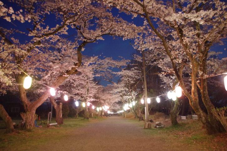 秦野の弘法山公園・夜桜2000本ライトアップ 展望台も点灯