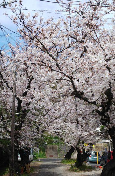 江の島も見える小高い丘に「桜」咲く 藤沢市・伊勢山公園