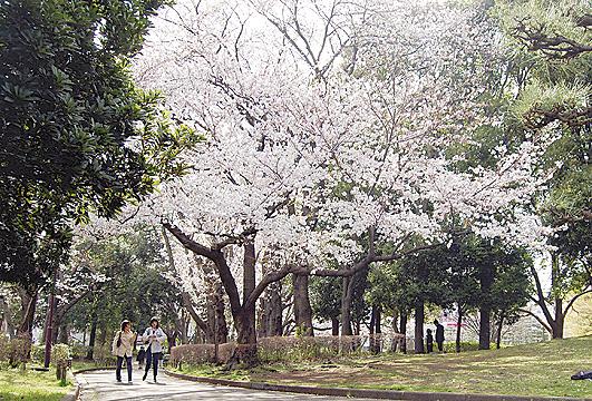 湘南台公園で「桜」と文化に触れてみませんか