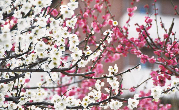 梅の香りに誘われて 町田天満宮に約10種類の梅