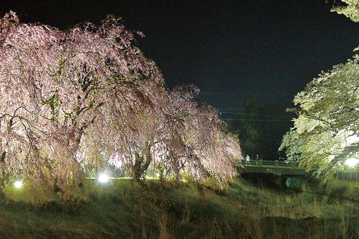 ソメイヨシノやしだれ桜がずらり 箱根宮城野 早川堤の桜