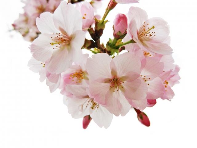 「桜ヶ丘公園第7回さくらまつり」音楽コンサートや宇宙旅した桜も?!