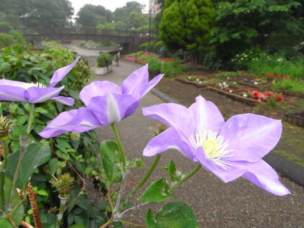 クレマチスが咲き誇る!数は日本有数の規模『クレマチスフェア』相模原麻溝公園