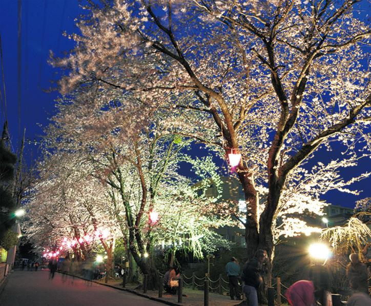 二宮町・葛川沿いの夜桜ライトアップ(二宮高校入口交差点そば)