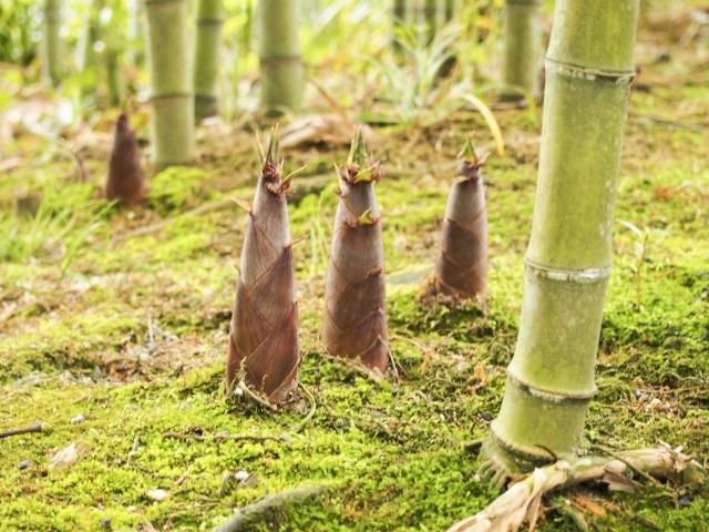 茅ヶ崎里山公園で「竹の子まつり」