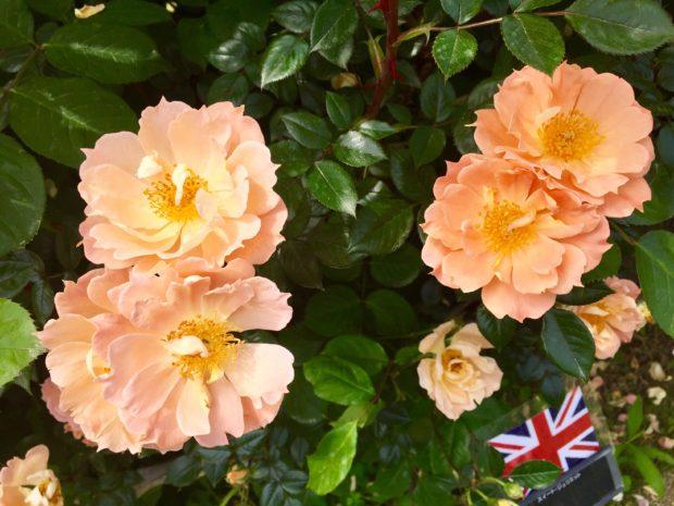 1800種のバラが見頃に!「ローズフェア」@横浜イングリッシュガーデン