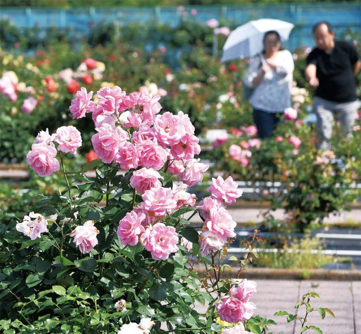 バラ園、甘い香り250種1千株【藤沢市】