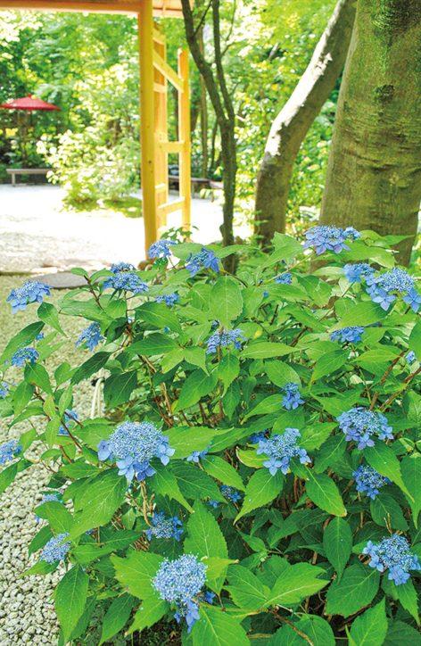 ヤマアジサイの穴場、鎌倉の「一条恵観山荘」7月ころまで楽しめる