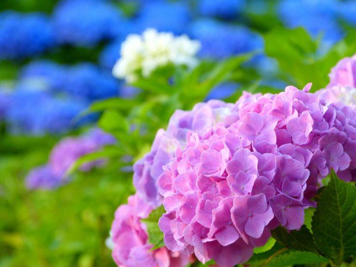 神奈川・東京多摩でいま見られるアジサイ・ショウブ&イベント【2019年6月11日更新】