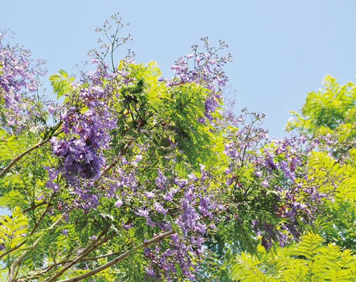 <見頃は6月20日以降>ジャカランダ穴場スポットin山北町「今年は8本すべて開花」
