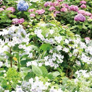 箱根の紫陽花が見頃に 箱根湯本から強羅へ